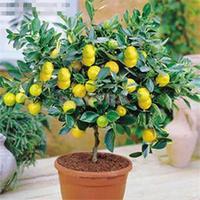 2014 New Practical Bonsai 20Pcs/bag/Beautifying Courtyard Lemon Tree Seeds