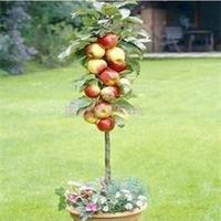 2014 New 20pcs Per Bag Seeds/Beautifying Bonsai Courtyard Plant Apple Tree Seeds