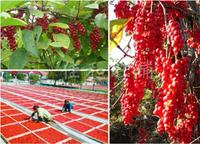 500g Organic Wild Dried Schisandra Chinensis Wu Wei Zi Five Flavor Berry Herbs wuweizi Natural dried fruit