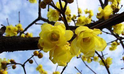 50pcs/bag Seeds Wholesale Chimonanthus praecox Fragrant Wintersweet Shrub Tree Yellow Flowers(China (Mainland))