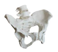 model of pelvis with 4th and 5th lumbar vertebrae with femur heads