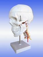 skull model with cervical vertebrae