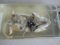 "Wet Specimen ""Rat Internal Structure"""