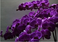 Butterfly orchid hot sale dark purple  10seeds/bag