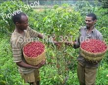 Kona Coffee Bean 100 Tree Seeds -Coffea-Gourmet-Tropical----Free shipping!!(China (Mainland))