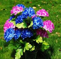 2014 Cineraria Multicolour Ornamental Flowers Outdaoor Plants home decorations 5pcs/lot MA1499