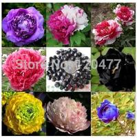 chinese peony seeds,flower peony seeds,peony flower - 20 pcs flower seeds