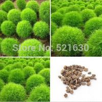 Free shipping 2000 pcs Grass Burning Bush Kochia Scoparia RED Garden Seeds Exotic
