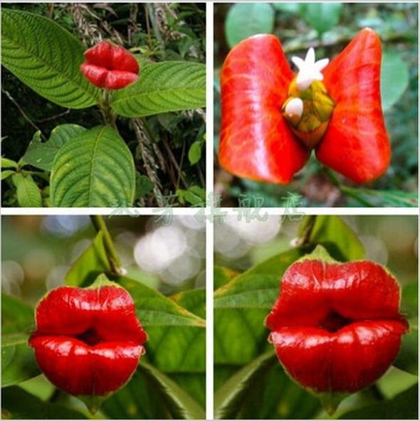 Blumentöpfe pflanzer psychotria elata blume der Lippen Samen wie sexy lippen bonsai samen für home& garden 100 Samen/bag