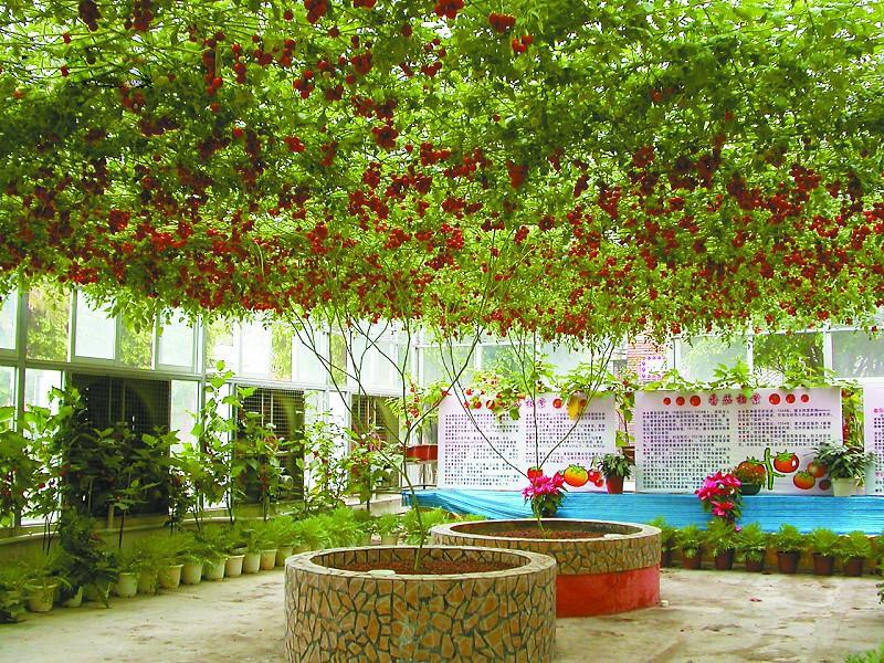 plantas de jardim lista : plantas de jardim lista:Italian Tree Tomato Seeds