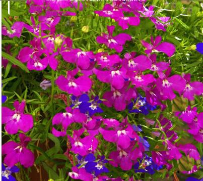 070316 5 pieces/lot Lobelia vieira series cui butterfly flower household balcony garden decoration flower seeds(China (Mainland))