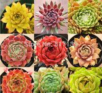 New Home Garden Plant 20 Seeds Rare Sempervivum Mix Succulent Seeds Free Shipping