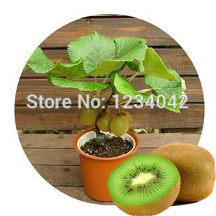 New Zealand Mini Kiwi Fruit Bonsai Plants, Delicious Kiwi Small Fruit Trees Seed 200 Piece(China (Mainland))