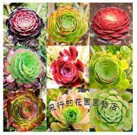 100% Genuine Seeds 40PCS MIX mis Lotus AEONIUM Sedum  potted plants colorful obconica succulents fleshy meaty plant seed
