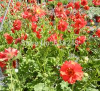 DIY Home Garden Plant 20 Seeds Red Geum Chiloense Mrs. Bradshaw Flower Seeds Free Shipping