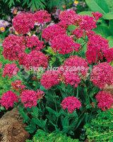 DIY Home Garden Plant 40 Seeds Catchfly Silene Armeria Flower Seeds Free Shipping
