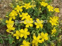 DIY Home Garden Plant 5 Seeds Hypericum Cerastoides Flower Seeds Free Shipping