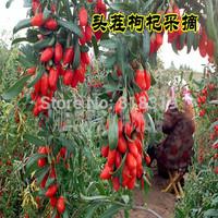Herbal Tea China Goji Berry 1kg Herbal  New  Dried Goji Berries1000g (2.2 IB) Nespera HerbalOrganic Wolfberry Gouqi  Herbal