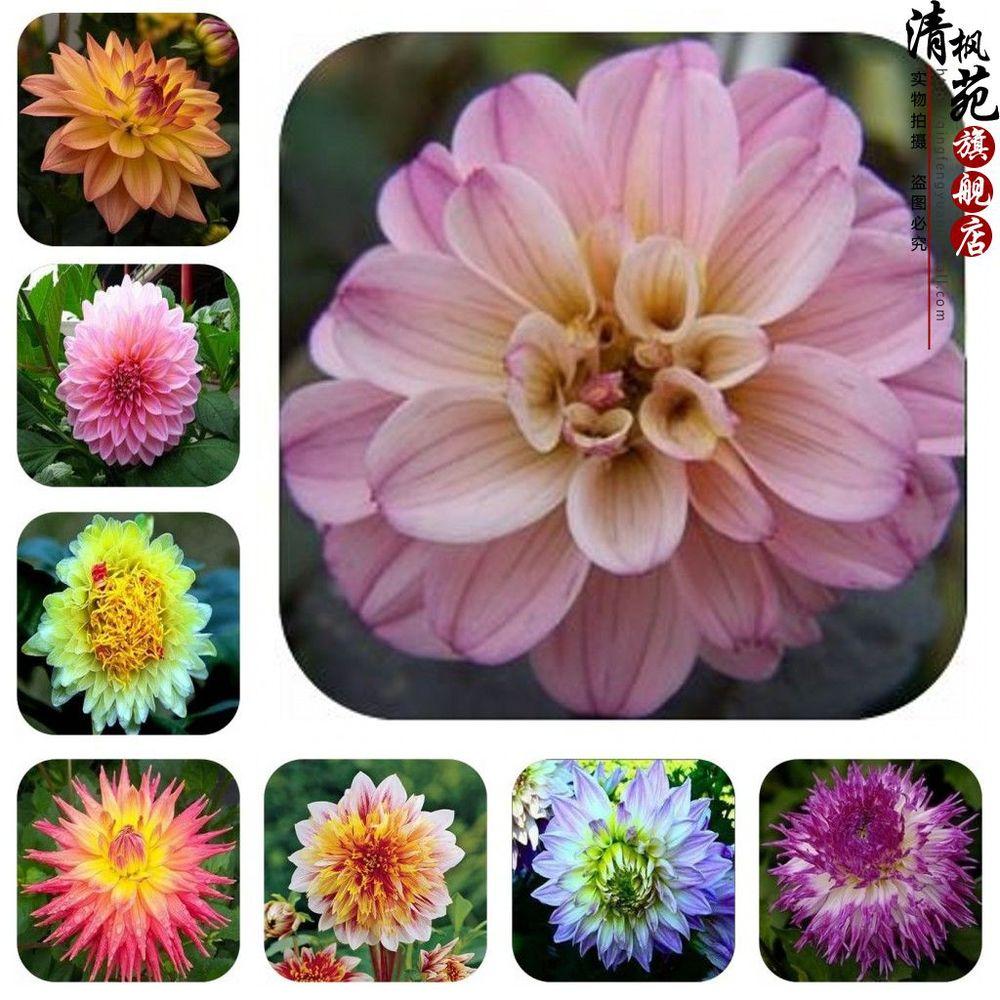 Dahlia Flower Bulbs Type Flower Bulb Dahlia