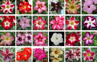 Free Shipping Wholesale 50pcs mix color Desert Rose Seeds Real Adenium Seeds Big promotion
