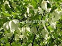 New Home Garden Plant 5 Seeds Chinese Dove Tree Davidia Involucrata Tree Seeds Free Shipping