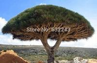 DIY Home Garden Plant 10 Seeds Canary Island Dragon Blood Tree Dracaena Draco Showy, Exotic, Rare Free Shipping