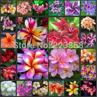(50 pieces/lot),Plumeria rubra seeds,Frangipani,Balcony potted,seasons planting