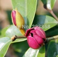 (50 pieces/lot),banana shrub seeds,Michelia figo ,Balcony potted,seasons planting