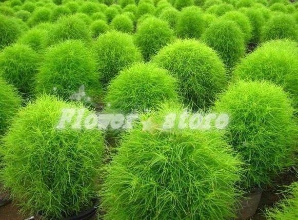Kochia scoparia samen 100 samen park zierpflanzen große laterne
