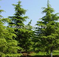 New Home Garden Plant 32 Seeds Deodar Cedar Himalayan Cedar Cedrus Deodara Tree Seeds Free Shipping