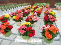 10 seeds Potted flowers Rose Rieger begonia seeds  Begonia Begonia Lira Free shipping
