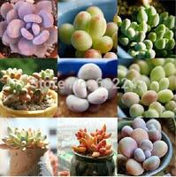 DIY Home Garden Succulent Plant 20 Seeds Rare Sedum Pachyphytum Mixed Seeds Free Shipping