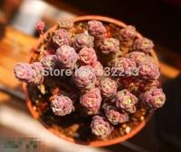 DIY Home Garden Succulent Plant 20 Seeds Rare Sedum Versadense Seeds Free Shipping