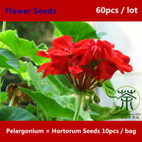 Easily Be Grown At Home Pelargonium Hortorum Seeds 60pcs, Novel Plant Garden Geranium Flower Seeds, Zonal Geranium Bonsai Seeds