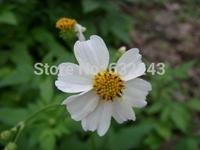 DIY Home Garden Plant 200 Seeds Bidens Pilosa Spanish Needle Edible Medicinal Herb Seeds Free Shipping
