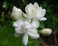 1 pack 50 pieces white jasmine Seeds, fragrant plant arabian jasmine seeds free shipping
