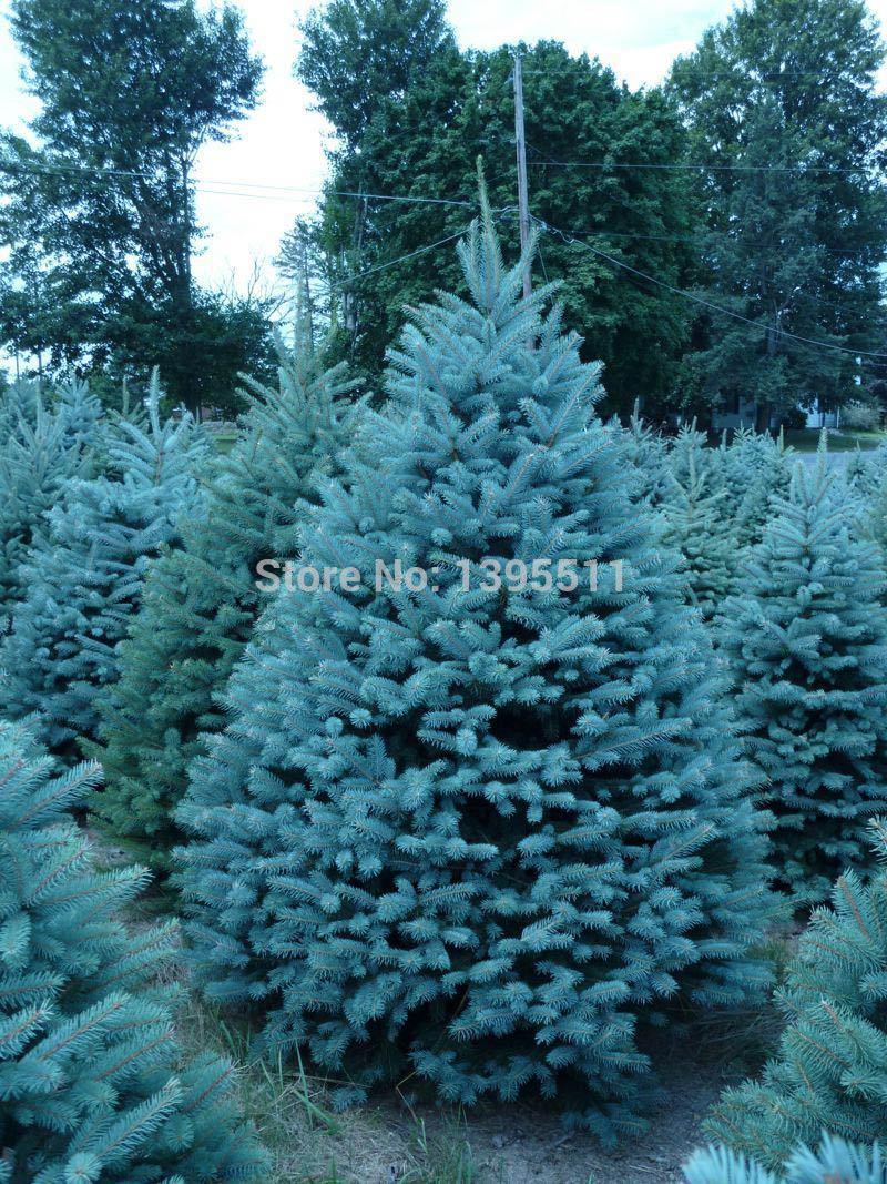 20 seeds /bag Home Garden Plant Colorado sky Blue Spruce Picea Pungens Glauca Tree Seeds sementes perennial seeds(China (Mainland))