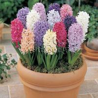 Hyacinth Bulb *  ( Bulb size 17/18 cm )  * Hyacinthus orientalis * Free shipping * Hydroponics hyacinth bulb * Hydroponic plants