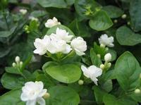 Mix $5 Jasmine flower seeds 30pcs/pack white jasmine Seeds, fragrant plant arabian jasmine seeds