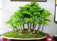 Tree seeds 50 Pcs Dawn Redwood Forest Bonsai Seeds - Metasequoia glyptostroboides - Grow Your Own Bonsai Tree Kit