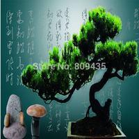 Free Shipping small pine tree seeds 50pcs/bag Pinus seeds garden bonsai seeds flower seeds for sight