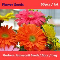 Flowering Plant Gerbera Jamesonii Seeds 60pcs, Beautifying Barberton Daisy Flower Seeds, Colorful Flowers Transvaal Daisy Seeds