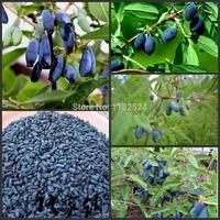 Free Shipping 20pcs 100% Genuine Fresh Rare Lonicera caerulea Fruit Seeds