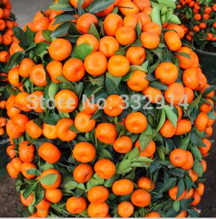 100 Climbing Orange Seeds Mini Potted Edible Fruit Seeds Bonsai China Top Quality Climbing Orange Tree Seeds Climbing Plants(China (Mainland))