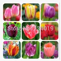 (100 pieces/lot) Tulip seeds,Tulipa gesneriana,potted plants, planting seasons, flowering plants