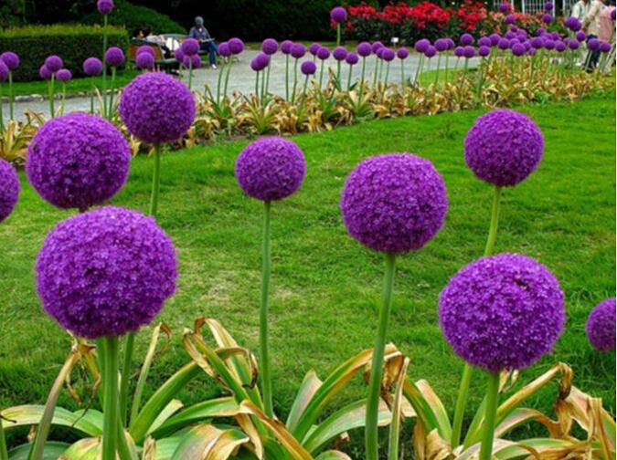 Imagenes de flores  Flores-ex%C3%B3ticas-semillas-de-cebolla-semillas-20-unids-macetas-macetas-embellecer-patio-muebles-ornamentales-plantas