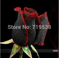 1 Professional Pack,Rare Amazingly Beautiful Black Rose Flower with Red Edge Seedling Seed  ,approx 30 Seeds / bag