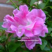 5pcs Pink Broken Petal Morning Glory Flower Seeds Bonsai Climbing Plants Balcony Garden Decor Trumpet Flower  Free shipping