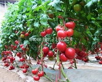 Free Shipping 100pcs High yield Auman T-180 Tomato Seeds fruit vegetables seeds