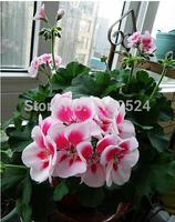 Free Shipping 100pcs 100% Genuine Bonsai Geranium Flower Seeds